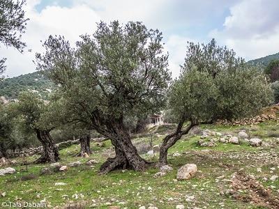 Olive Tree along the Jordan Trail